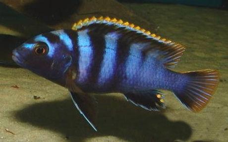 Labidochromis sp. mbamba Mbamba Bay