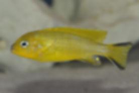 Pseudotropheus daktari Hai Reef