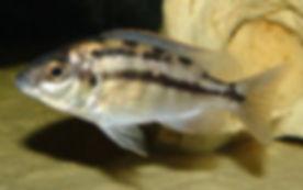 Protomelas taeniolatus Namalenje