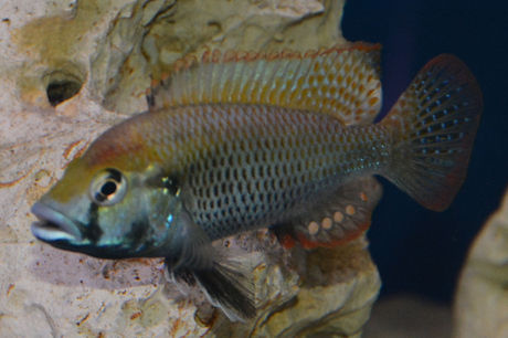Astatotilapia calliptera Thumbi east