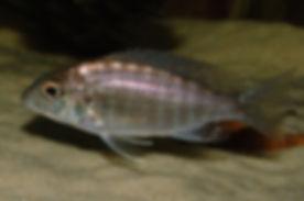 Aulonocara stuartgranti Hai Reef