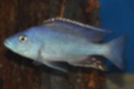 Nimbochromis livingstonii Cobwe