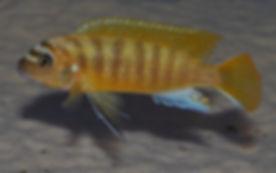 Metriaclima sp. zebra gold Lion's Cove