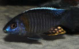Aulonocara sp. yellow collar Mazinzi Reef