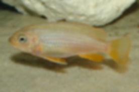 Metriaclima sp. membe deep Likoma