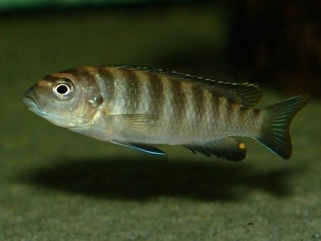 Pseudotropheus flavus (6).BMP