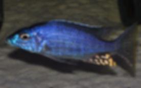 Aulonocara rostratum Kande