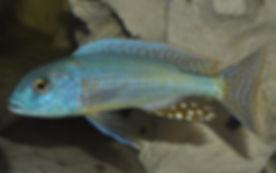 Buccochromis lepturus Chembe