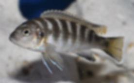 Pseudotropheus elongatus chailosi Chitande