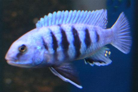 Labidochromis freibergi Likoma