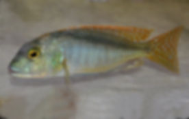 Buccochromis nototaenia Ntekete