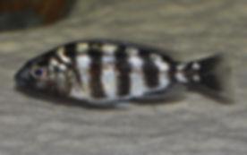 Protomelas johnstoni solo Makonde