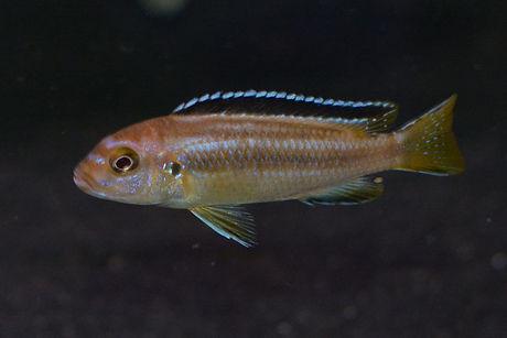 Pseudotropheus perileucos Masimbwe