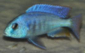 Chilotilapia rhoadesii Cobwe