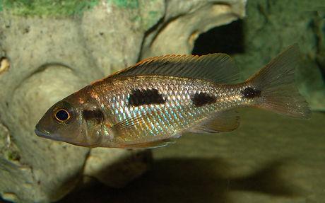 Otopharynx lithobates Dombwe Reef