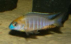 Lethrinops sp. yellow collar Masimbwe