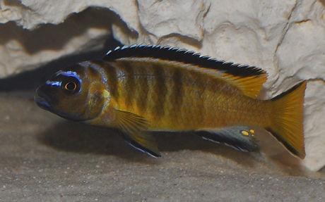 Pseudotropheus elongatus usisya Mara Rocks