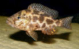 Nimbochromis polystigma Otter Point