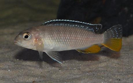 Tropheops sp. red fin Usisya