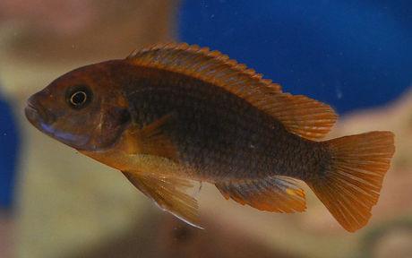 Iodotropheus sprengerae Makokola