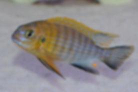 Tropheops sp. mauve Magunga