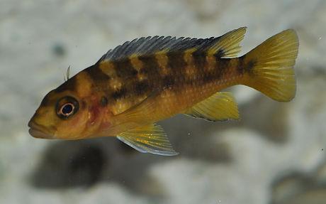 Pseudotropheus crabro Nakantenga