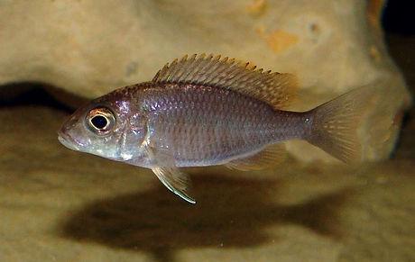 Aulonocara maylandi Ekkles Reef