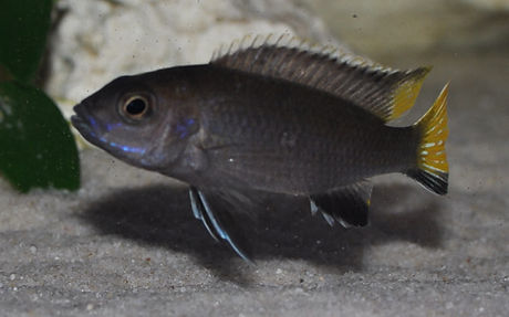 Pseudotropheus acei Itungi