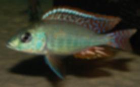 Otopharynx tetrastigma Thumbi east