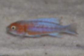 Labeotropheus trewavasae Manda
