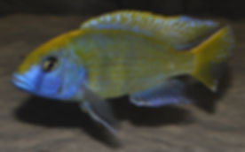 Nimbochromis venustus Chembe