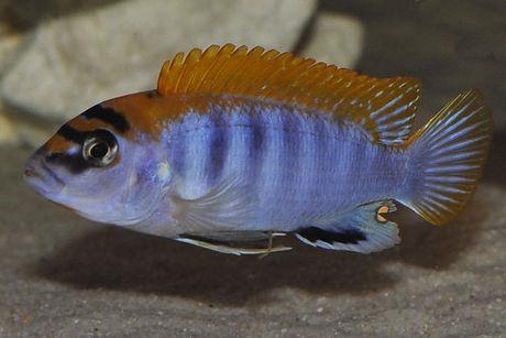 Labidochromis sp. hongi Hongi Island