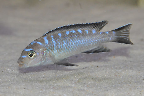 Pseudotropheus elongatus Ruarwe
