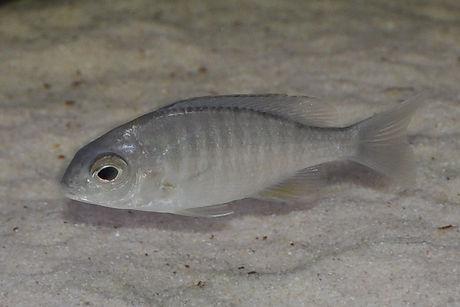 Lethrinops sp. micrentodon makokola Makokola Reef