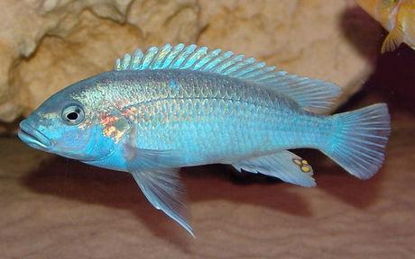Melanochromis lepidiadaptes Makanjila Point
