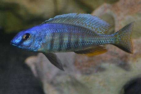 Otopharynx sp. torpedo blue Ntekete