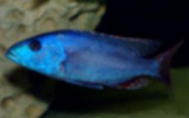 Nimbochromis fuscotaeniatus Kande