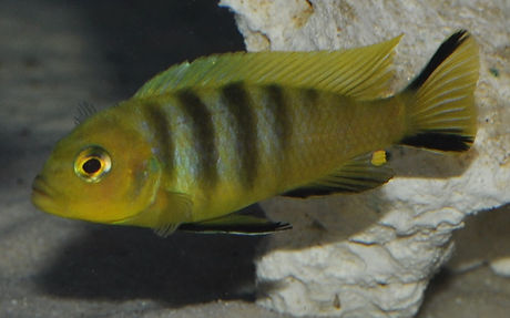 Cynotilapia sp. lion Mara Rocks