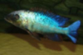 Fossorochromis rostratus Otter Point