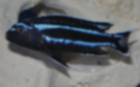 Melanochromis johanni Gome