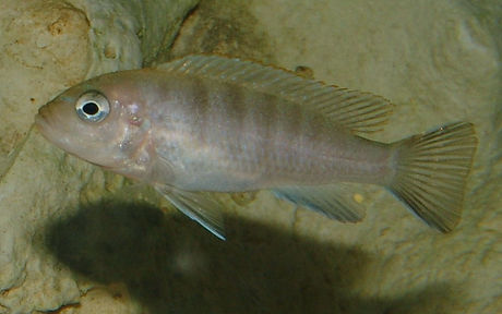 Cynotilapia sp. Lion's Cove