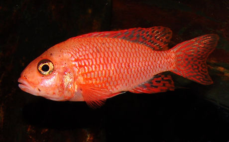 Aulonocara sp. firefish Coral red