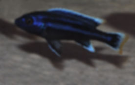 Melanochromis chipokae Chidunga Rocks