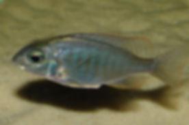 Lethrinops sp. mbasi Mbasi Creek