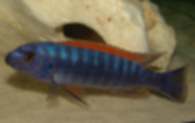 Labeotropheus trewavasae Thumbi West