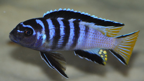 "Pseudotropheus elongatus ""Mpanga"""