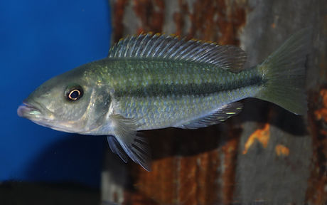 Dimidiochromis dimidiatus Senga Bay