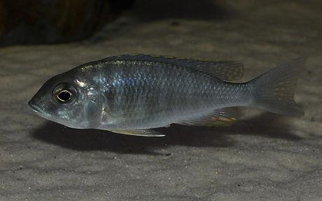 Placidochromis electra black fin Makonde