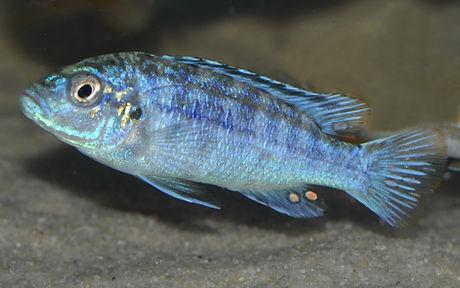 Melanochromis joanjohnsonae Likoma