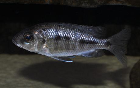 Protomelas spilonotus Tanzania